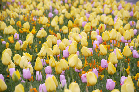 full bloom: Yellow tulips in full bloom