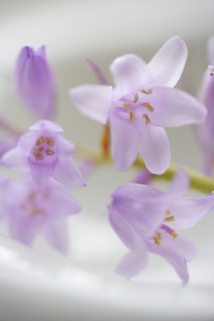 fleur arum: Arum fleur