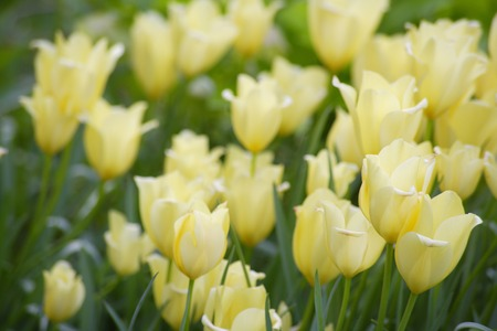 in bloom: Tulip fields in bloom