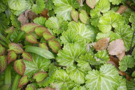groundcover: Of groundcover Epimedium and saxifrage