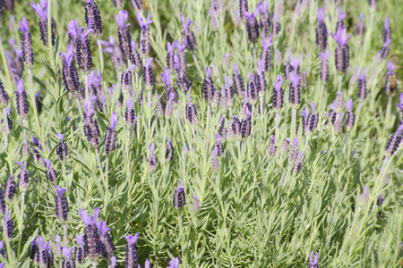 full      bloom: Full bloom of lavender fields Stock Photo