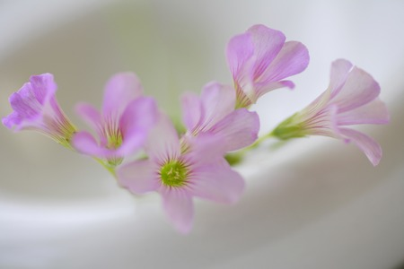 small flower: Of small flower Oxalis