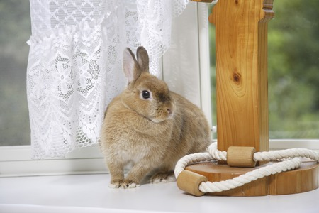 to sway: Rabbit play with white curtains sway living