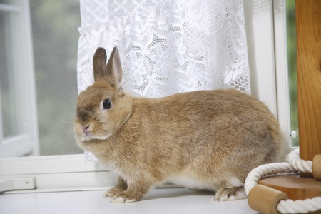 mammalian: Rabbit play with white curtains sway living