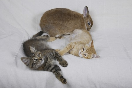 mammalian: Relax on the sofa together two kittens and rabbits