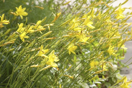 vividly: Vividly blooming yellow Hemerokarisu