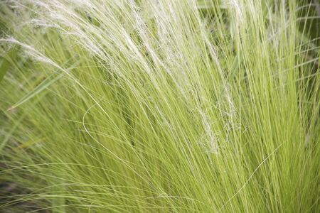 early summer: Feather grass sparkles in the early summer Stock Photo