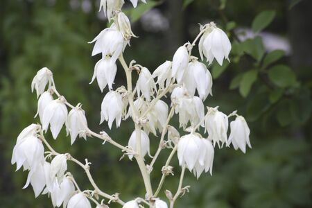 early summer: Yucca white flowers that bloom in early summer