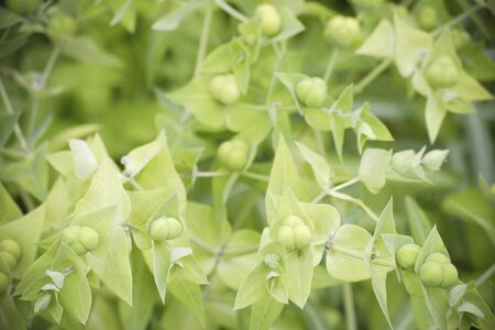 early summer: Early summer of Euphorbia