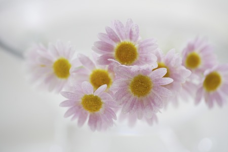 small flower: Pink small flower Margaret Stock Photo
