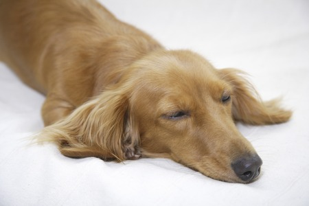 feel affection: Miniature Dachshund to nap in bed Stock Photo