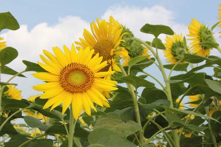 Sunflower fields and blue sky photo