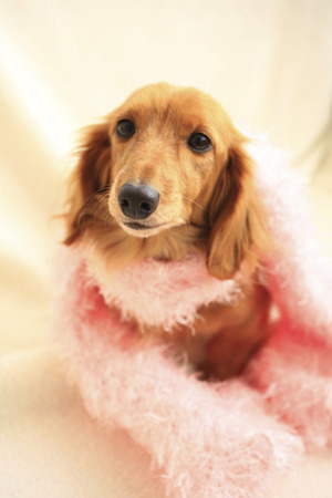 damper: Pink scarf and a miniature Dachshund Stock Photo