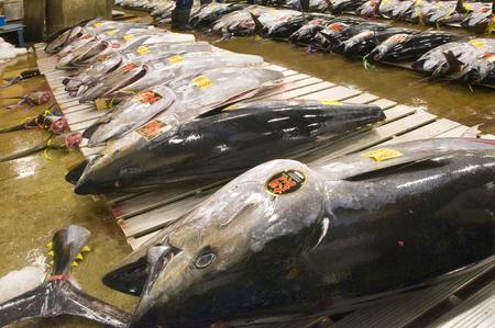 Tsukiji market Oma production tuna