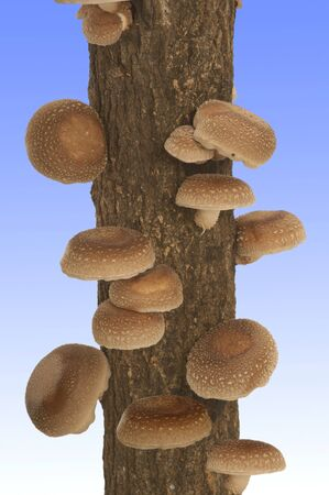 grew: Shiitake mushrooms that grew from Hoda tree