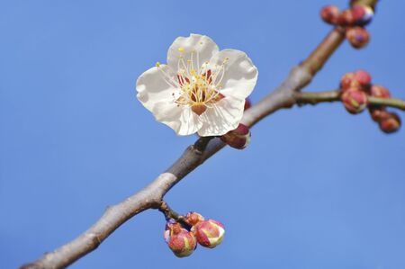 white blossom: White plum one wheel Stock Photo
