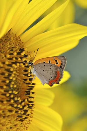 cobre: Mariposa del cobre americano Foto de archivo