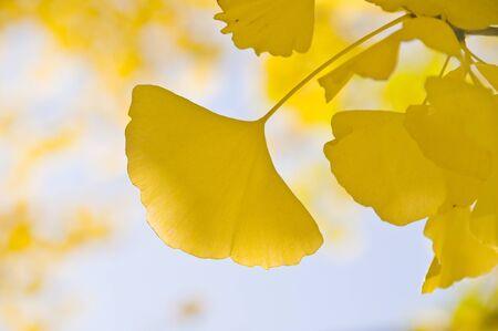 ginkgo leaf: Ginkgo leaf was color Cord to yellow