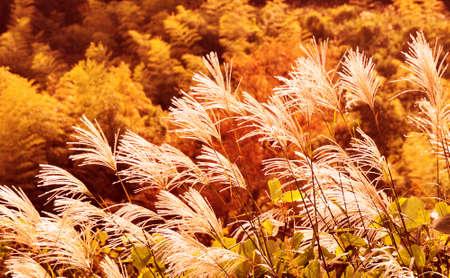 silver maple: Japanese pampas grass of autumn Stock Photo