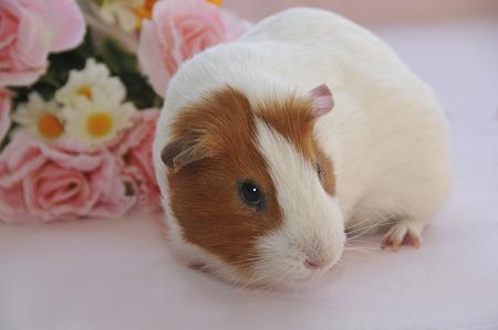 guinea pig: Kure thread species of guinea pig Stock Photo