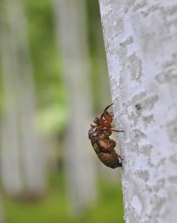 cicada: Ampliación de la cáscara marrón cigarra