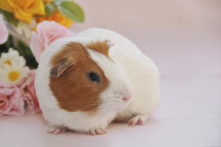 guinea: Kure thread species of guinea pig Stock Photo