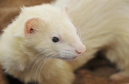white fur: Ferret white fur Foto de archivo