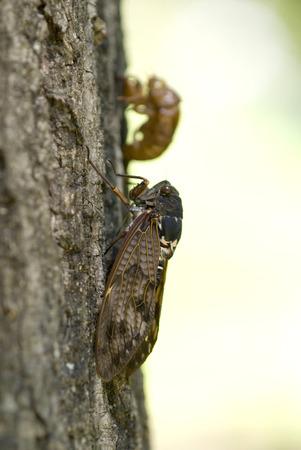 大きな茶色の蝉と殻 写真素材