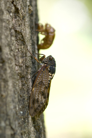 lingering: Large brown cicada and husk Stock Photo