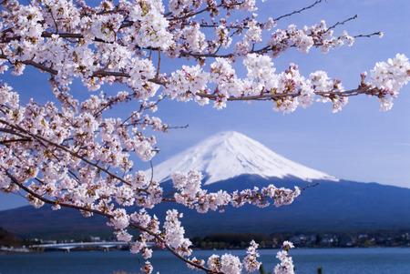 Mt. Fuji and Lake Kawaguchi cherry
