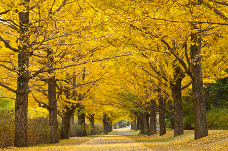 straight path: Ginkgo tree-lined autumn leaves