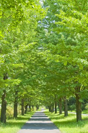 straight path: Fresh green ginkgo Namiki