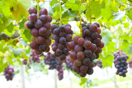 grew: Bunches of grapes that grew to Shiwawa Stock Photo