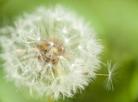 fluff: Dandelion fluff Stock Photo
