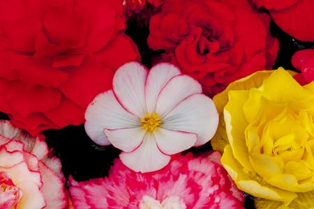 各花を球根 Bekonia 写真素材 - 46833023