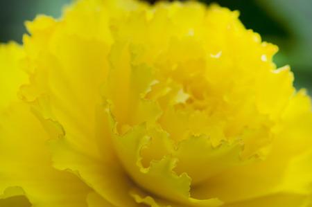 球根 Bekonia 黄色い花 写真素材 - 47088528