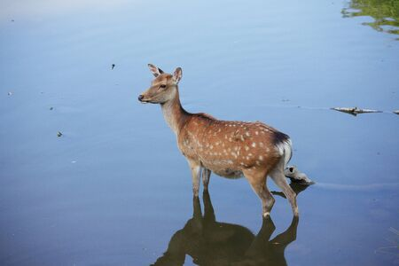 the entering: Deer entering the pond Stock Photo