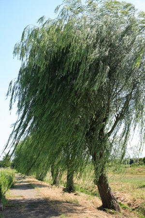 swaying: Willow that is swaying in the wind Stock Photo