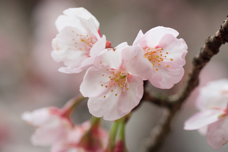 pale colours: Sakura
