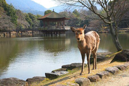 nara park: Ukimi-deer