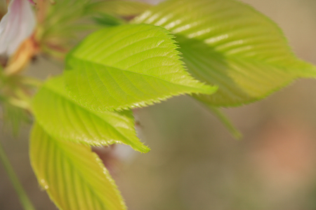 young leaves: Young leaves of a cherry tree