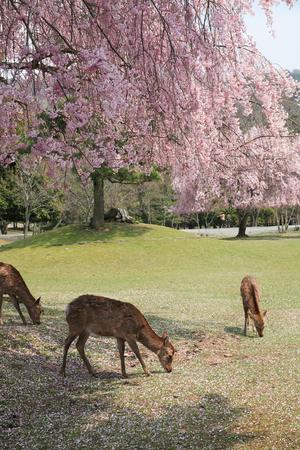 animal only: Sakura and deer