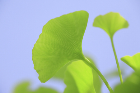 young leaves: Young leaves of Ginkgo biloba Stock Photo