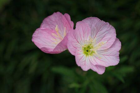 bushy plant: Poppy