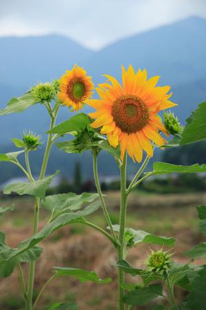 plateau of flowers: Sunflower