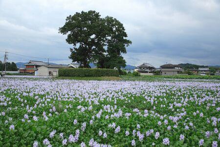 this: Water hyacinth of this Yakushiji trace Stock Photo