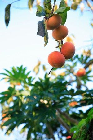 oyster plant: Persimmon fruit Stock Photo