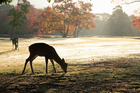 deer  spot: Nara Park in the morning