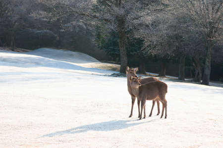 animal only: Of frost Nara Park