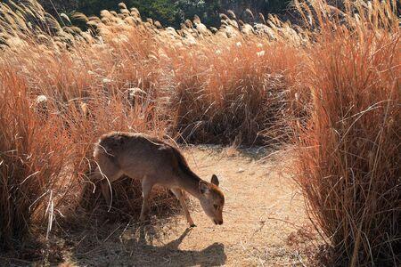 animal only: Deer mount wakakusa Stock Photo